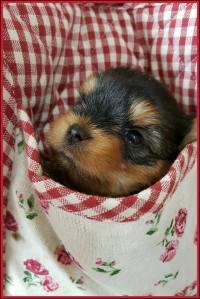 cuccioli yorkshire