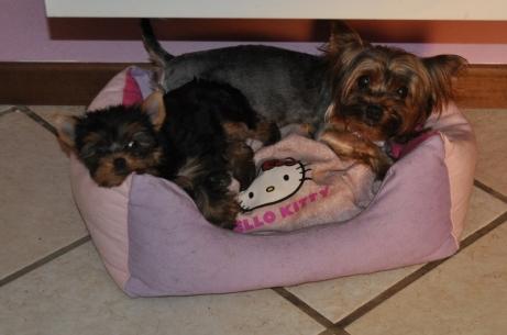 cuccioli yorkshire vendita milano