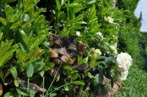 cuccioli yorkshire vendita lombardia