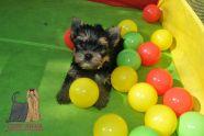 cuccioli yorkshire no toy